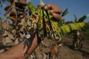 destruction des cultures vivrières des paysans
